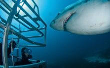 cage diving shark